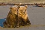 Brown bear cubs on beach in Lake Clark National Park Alaska
