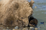 Brown bear cub resting on tidal flat in Lake Clark National Park Alaska