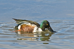 Northern shoveler (Anas clypeata) feeding in pond at Bosque del Apache National Wildlife Refuge New Mexico