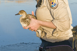 U.S. Fish and Wildlife Service biologist releasing a newly-banded female pintail at Bosque del Apache National Wildlife Refuge New Mexico