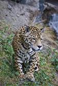 Captive jaguar (Panthera onca) in the San Martin Zoo in Banos Ecuador