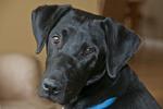 Seven-month-old black Labrador puppy