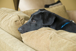 Seven-month-old black Labrador puppy on couch