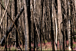 Lodgepole pine forest two years after forest fire in the Sawtooth National Recreation Area ID