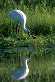 Captive whooping crane with newly-hatched chick