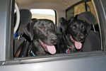 Two black Labrador retrievers riding in the back seat of a pickup truck