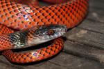 Black-headed calico snake (AKA Tschudi's false coral snake)