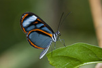 Lavinia glasswing butterfly (Hypoleria lavinia) in the Tambopata National Reserve Peru