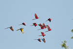 Red-and-green macaws (and one blue-and-yellow macaw) in flight in Tambopata National Reserve Peru