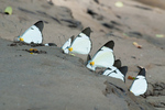 Lycimnia white butterflies (Melete lycimnia peruviana) gathering moisture from wet sand on the Tambopata River in the Tambopata National Reserve Peru