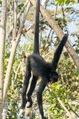 Peruvian spider monkey (Ateles chamek) near Puerto Maldonaldo Peru