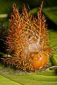 Punk caterpillar (Automeris egeus), a tropical rainforest caterpillar