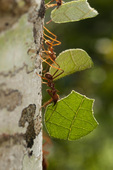 Leafcutter ants (Atta sp.) on tree in the Tambopata National Reserve in Peru