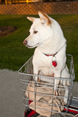 Shiba Inu dog in bicycle basket