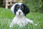 Llewellyn setter puppy - nine weeks old