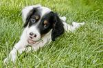 Llewellyn setter puppy - nine weeks old