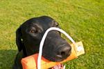 Black Labrador retriever with retriever bumper