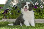 Nine-week-old border collie puppy