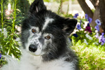 7-year old border collie