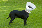 Black Labrador retriever wearing Elizabethan collar