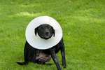 Black Labrador wearing Elizabethan collar and scratching head