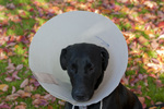 Black Labrador wearing Elizabethan collar