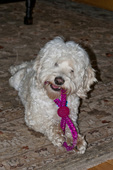 Cockapoo with dog toy