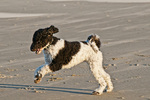 Parti poodle romping on beach on Oregon Coast