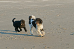 Parti poodle and Australian Labradoodle playing on beach on the Oregon Coast