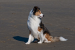 Shetland sheepdog (Sheltie) on beach on Oregon Coast