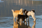 Three dogs (golden retriever, parti poodle, and Australian Labradoodle) together on a beach on the Oregon Coast