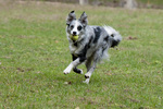 Border collie retrieving tennis ball