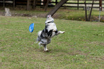 Border collie missing attempt to catch Frisbee
