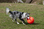 Border collie chasing exercise ball