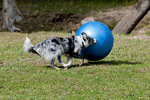 Border collie chasing large exercise ball