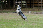 Border collie catching tennis ball