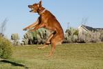 Golden retriever catching tennis ball