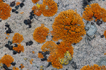 Firedot lichen (Caloplaca sp.) on a granite boulder in the Boulder Mountains, Idaho