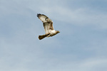 Ferruginous hawk (Buteo regalis) in SW Idaho
