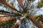 Ponderosa pine grove on the Middle Fork of the Salmon River in the Frank Church - River of No Return Wilderness Idaho