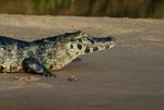 Yacare caiman (Caiman yacare) on a sandbar in the Pantanal, Brazil