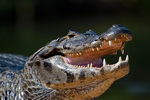 Yacare caiman (Caiman yacare) mouth gaping (thermoregulation) in the Pantanal, Brazil