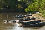 Group of Yacare caiman (Caiman yacare) on a riverbank in the Pantanal, Brazil