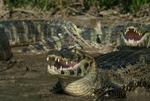 Yacare caiman (Caiman yacare) on a riverbank mouth gaping (thermoregulation) in the Pantanal, Brazil