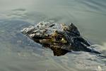 Yacare caiman (Caiman yacare) in a river in the Pantanal, Brazil