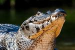 Yacare caiman (Caiman yacare) on a riverbank in the Pantanal, Brazil