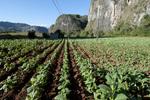 Cuban tobacco field near Vinales, Cuba
