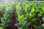 Tobacco field near Vinales, Cuba