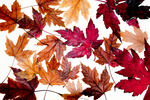 Silver maple leaves in autumn
