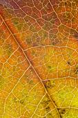 sweetgum leaf in autumn